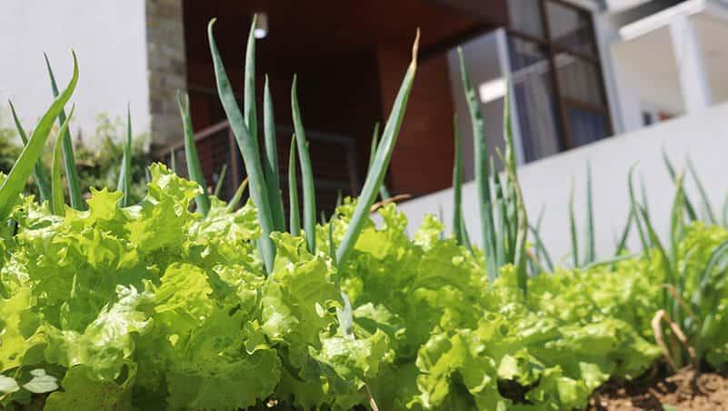 Selada, salah satu Tanaman Sayur yang Tidak Terlalu Membutuhkan Sinar Matahari