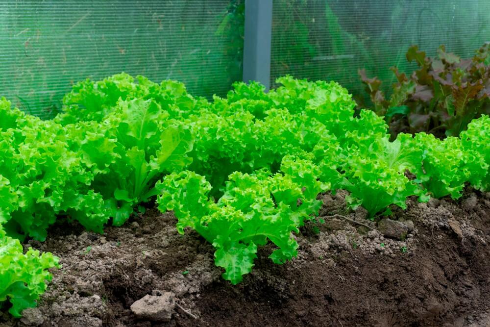 sayuran pada pembahasan Cara Membuat Kebun Sayur Sederhana