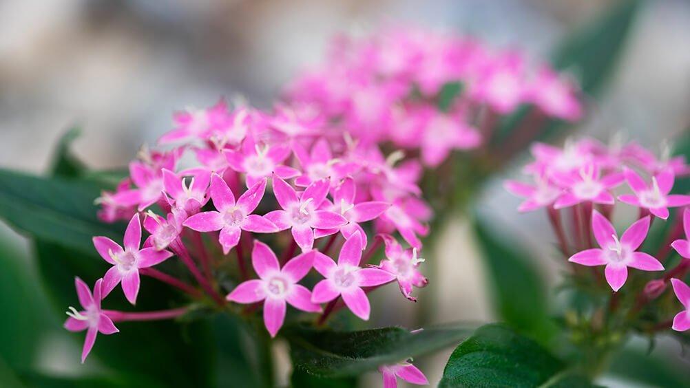 Bunga Pentas, salah satu Tanaman Hias Outdoor Yang Mudah Dirawat