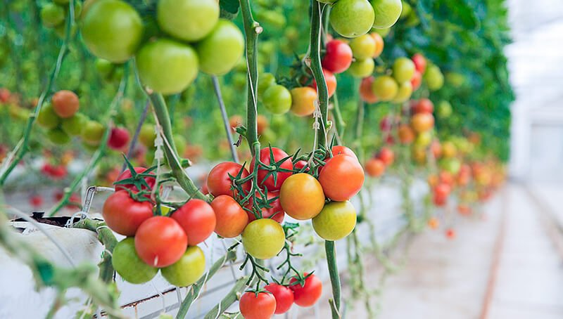 Tomat, salah satu Tanaman Sayur yang Tidak Terlalu Membutuhkan Sinar Matahari